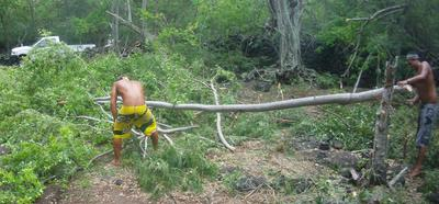 Timber! The boy's drop a young tree at Kaawaloa